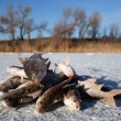 Winter fishing - caught fish on ice — Stock Photo