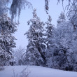 Snowfall in winter forest — Stock Photo #2642913