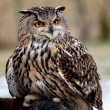 Portrait of an owl — Stock Photo #2646230