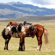 Stock Photo: Two nomadic horses