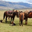 Group nomadic horses — Stockfoto