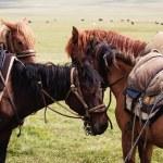 Grupo nómada caballos — Foto de Stock