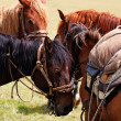 Stock fotografie: Group nomadic horses