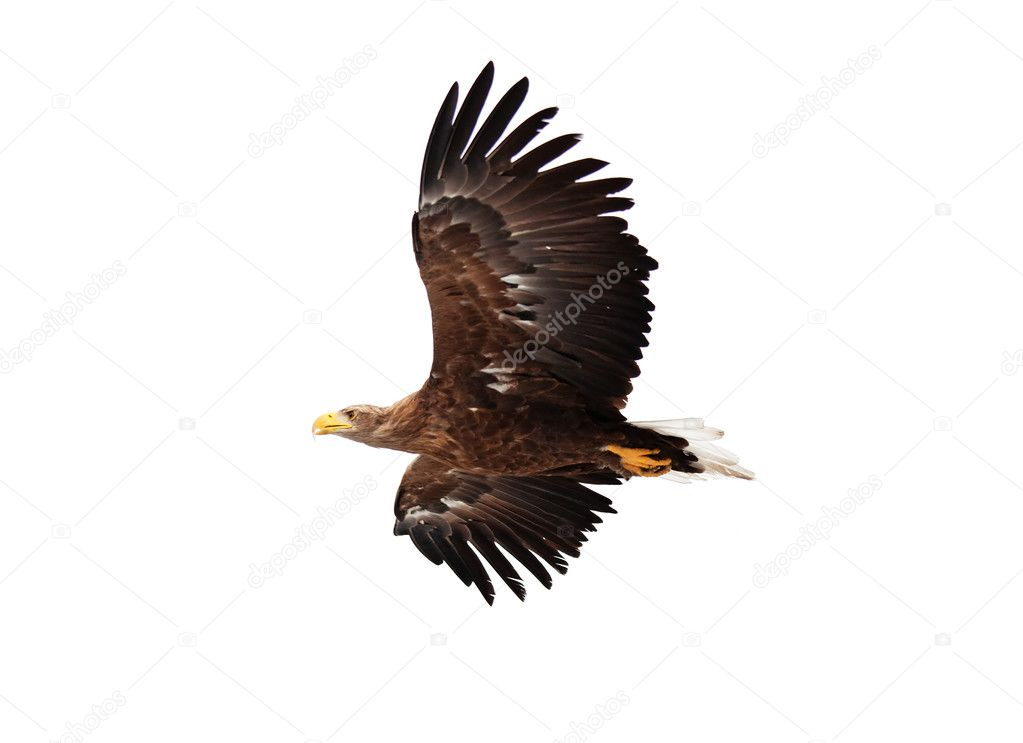 Flying golden eagle on white background — Stock Photo #2646094