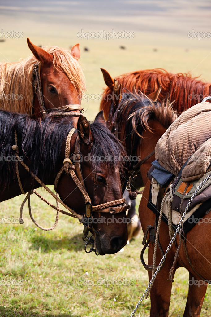 Group nomadic horses close-up — Stock Photo #2646464