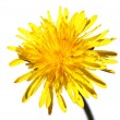 Yellow dandelion isolated on white — Foto Stock