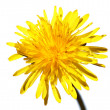 Yellow dandelion isolated on white — Stok fotoğraf