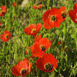 Poppies — Stock Photo #2673344