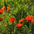 Poppies — Stock Photo #2673361