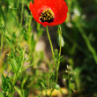 Poppy — Stock Photo #2673450