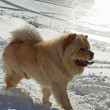 Chow-chow dog near by winter lake — Stock Photo #2678005