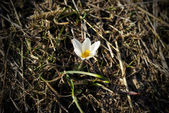 First small snowdrop flower in steppe — Stock Photo