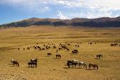 Wild horses in desert mountains — Stock Photo