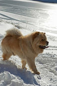 Chow-chow dog near by winter lake — Stock Photo