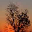 Royalty-Free Stock Photo: Sunset and tree silhouette