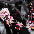 Royalty-Free Stock Photo: Flowerses apricot tree