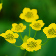 Many small wild yellow flowers — Stock Photo