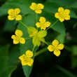Many small wild yellow flowers — Stock Photo #2686334