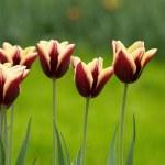 Tulips — Stock Photo #2686792