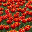 Tulips field — Stock Photo #2687105