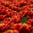 Stock Photo: Tulips field