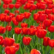 Red tulips field — Stock Photo #2687306