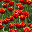 Tulips field — Stock Photo #2687364