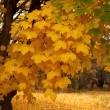 Autumn maple — Stock Photo #2689854