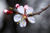 Flowerses apricot tree — Stock Photo