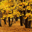 Stock Photo: Autumn maple