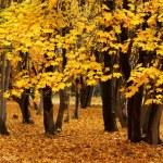Autumn maple — Stock Photo