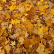 Maple fall of leaves after rain - Stock Photo