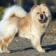 Chow-chow dog — Stock Photo