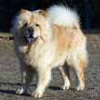 Chow-chow dog - Stock Photo