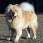 Chow-chow dog — Stock Photo #2690818