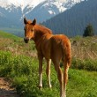 Free yong brown foal in mountains — Stock Photo