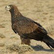 Golden Eagle — Stock Photo #2692467