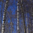 Royalty-Free Stock Photo: Winter birch tree vertical panorama