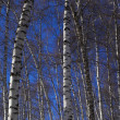 Winter birch tree vertical panorama — Stock Photo