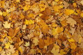 Maple fall of leaves after rain — Stock Photo