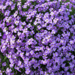 Mass of purple flowers — Stock Photo