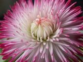 Bellis flower opening — Stock Photo