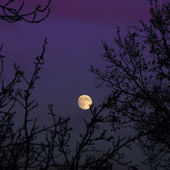 Moon rising over trees in purple sky — Stock Photo