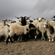 Tibetan mountain sheep — Stock Photo
