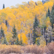 Aspens in Autumn — Stock Photo