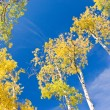 Autumn Aspen and Blue Sky — Stock Photo