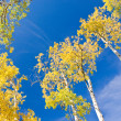 Stock Photo: Autumn Aspen and Blue Sky