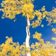 Royalty-Free Stock Photo: Autumn Aspen and Blue Sky