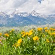 Stock Photo: Wildflowers and Teton Mountains