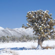Joshua Tree Sentinel in Desert Snow — Stock Photo #2628267